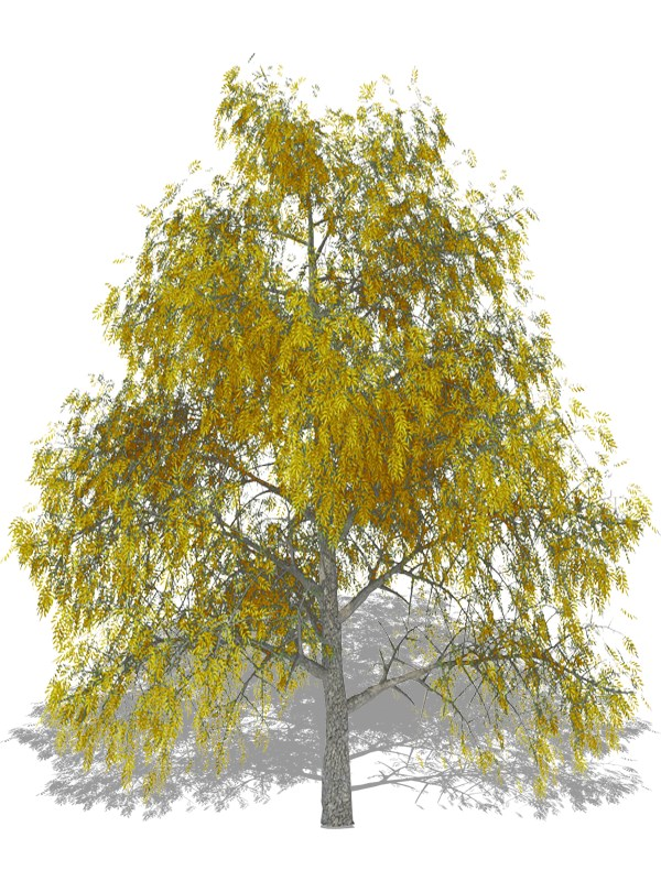 Mockernut Hickory Arboquebecium