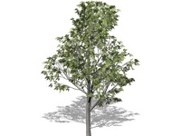 celtis_occidentalis