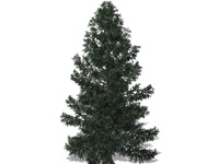 picea_pungens