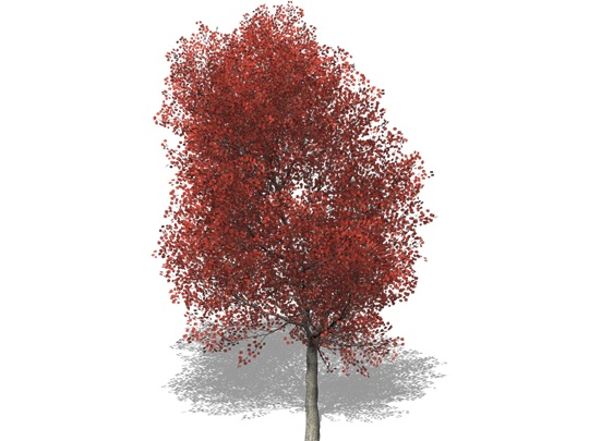 Representation of the Red Maple