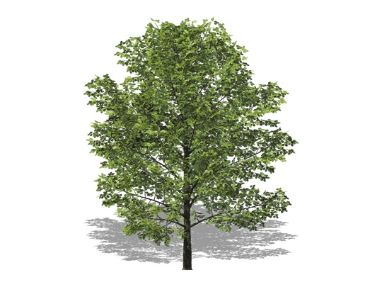 Representation of the Yellow Birch
