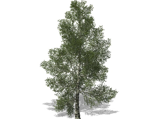 Representation of the White Birch