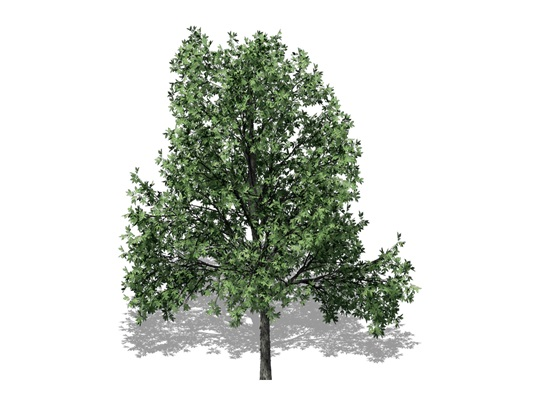 Representation of the Shagbark Hickory