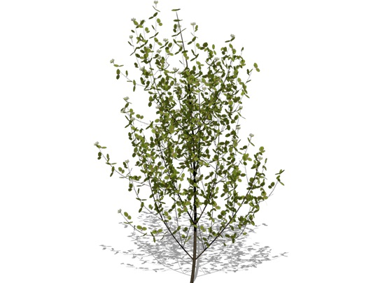 Representation of the Gray Dogwood