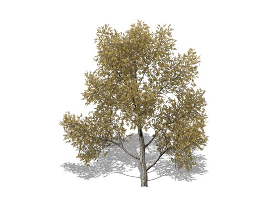 Representation of the Honey-Locust