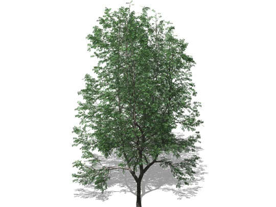 Representation of the Kentucky Coffeetree