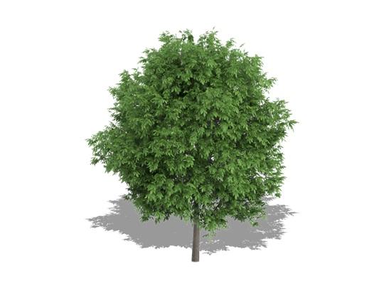 Noyer hybride 'Dooley' | Arbo-Quebecium