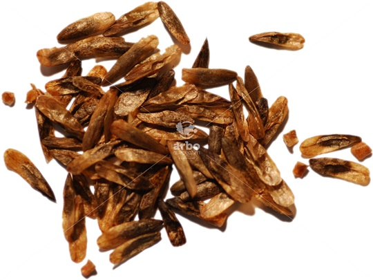 Sweetgum Seeds