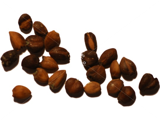 Sweetbay Magnolia seeds