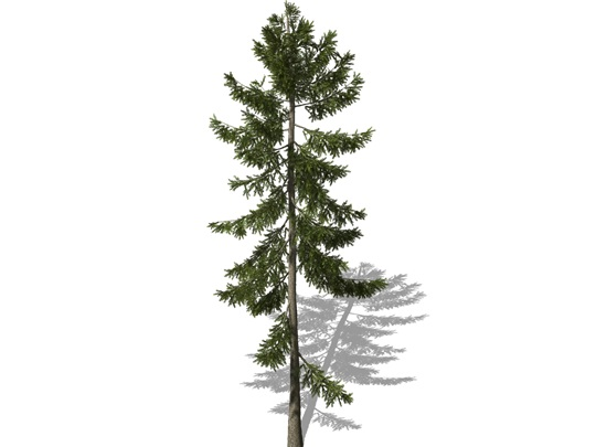Representation of the Norway Spruce