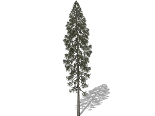 Representation of the Red Spruce