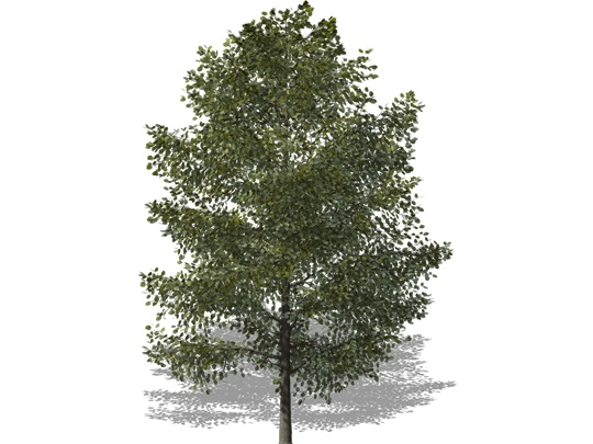 Representation of the Basswood
