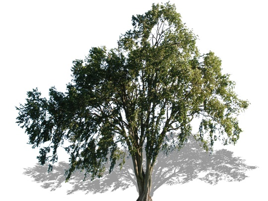 Representation of the White Elm