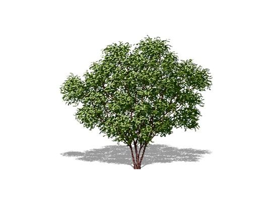 Representation of the Northern Prickly-ash