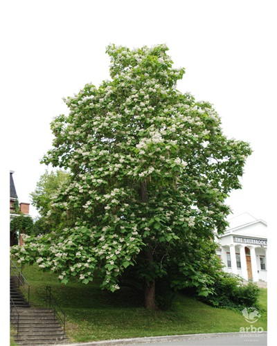 Le catalpa de Caroline de la rue William