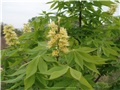 aesculus_glabra09