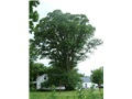 quercus_macrocarpa_stanbridge01